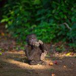 Gorille du projet Lesio-Luna de réimplantation en milieux sauvage